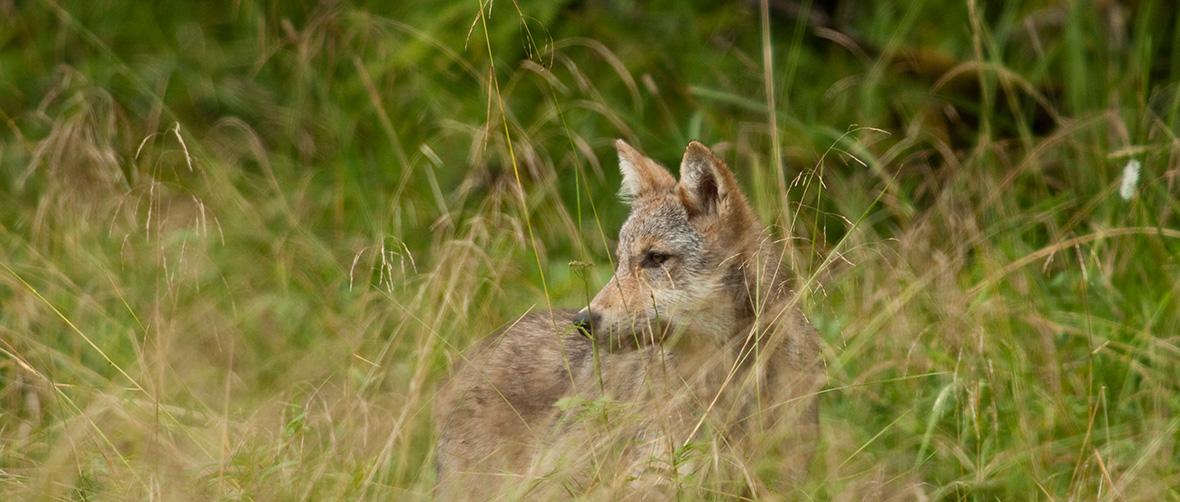 wolf-in-grass