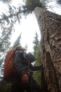 Jay Simpson inspecting a larch tree11