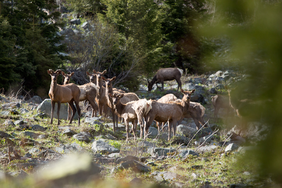 A heard of elk in evening light in the Upper Imnaha River canyon.