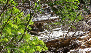 Pups of Wolf OR-7 and mate. Photo: USFWS.