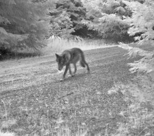 Black female wolf. Photo: USFWS