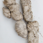 Coyote scat, turned white by bacteria