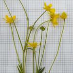 Bulbous Buttercup, Ranunculus bulbosus