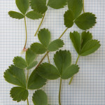 Leaves of Wild Strawberry, Fragaria virginiana