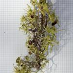 Wolf Lichen, Letharia vulpina