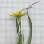 Yellow Goatsbeard, Tragopogon dubius