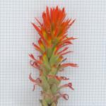 Indian Paintbrush, Castilleja sp.