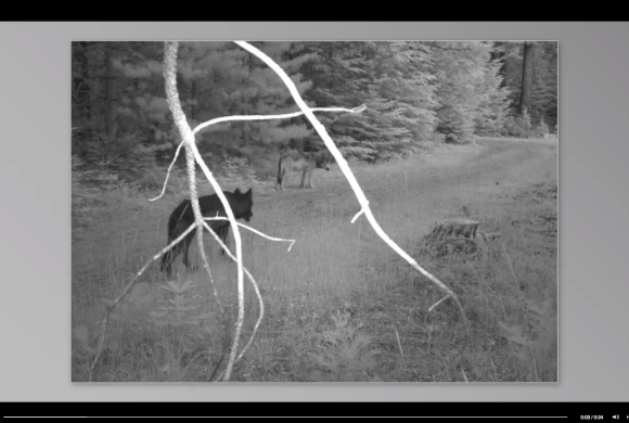 Rogue Pack Wolf Yearlings Caught by Remote Camera