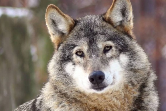 Wolf OR-7 Expedition Documentary Film Now Free on YouTube