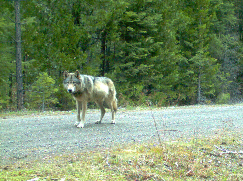 Wolf OR-7 News Roundup: New GPS Tracking Collar, Genetic Test Results, & Pack Designation