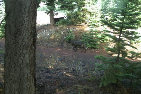 Another Wolf Disperses to California, Says CA Dept. of Fish and Wildlife